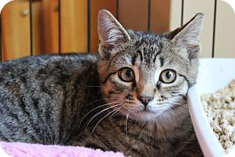 Domestic Shorthair Kitten for adoption in Hazlet, New Jersey - Benji