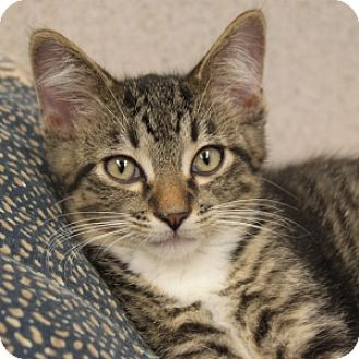 Domestic Shorthair Kitten for adoption in Naperville, Illinois - Dapper