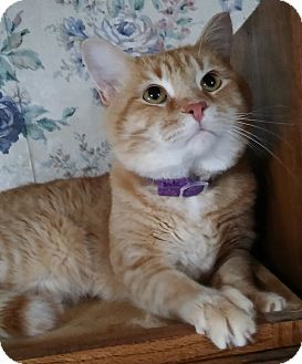 Domestic Shorthair Cat for adoption in Witter, Arkansas - Willie
