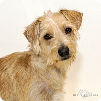 Westie, West Highland White Terrier Mix Dog for adoption in Naperville, Illinois - Harvard