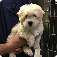 Adopt A Pet :: 'NACHO' - Agoura Hills, CA