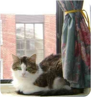 RagaMuffin Cat for adoption in Etobicoke, Ontario - Percy