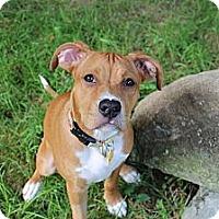 Adopt A Pet :: Patsy Cline - Woodbridge, CT