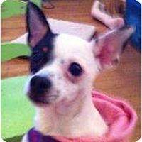 Adopt A Pet :: Diva - Arlington, TX