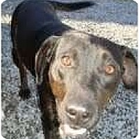Adopt A Pet :: Ebony (REDUCED to $200!) - Brattleboro, VT