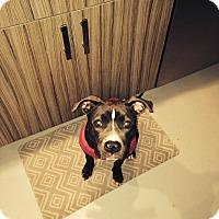 Adopt A Pet :: Cali - Surprise, AZ