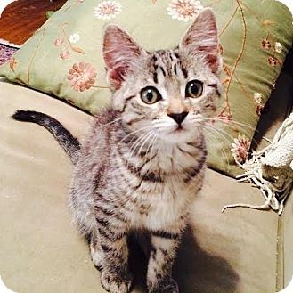 Domestic Shorthair Kitten for adoption in Columbia, Illinois - Franny