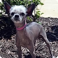 Adopt A Pet :: Peaches-Adoption pending - Bridgeton, MO