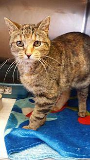 Domestic Shorthair Cat for adoption in Lima, Ohio - Stumpy