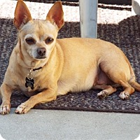 Adopt A Pet :: Lola the Chi - Redondo Beach, CA