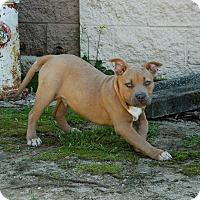 Adopt A Pet :: Brutus - Lawrenceville, GA