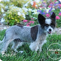 Adopt A Pet :: Bandit - Topeka, KS