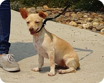Chihuahua Mix Dog for adoption in Lathrop, California - Scarlet