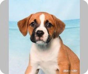 Boxer/Labrador Retriever Mix Puppy for adoption in Pittsboro, North Carolina - Bailey