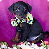 Adopt A Pet :: Maui - Irvine, CA