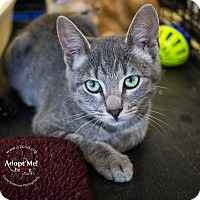Domestic Shorthair Kitten for adoption in Mooresville, North Carolina - A..  Weslyn