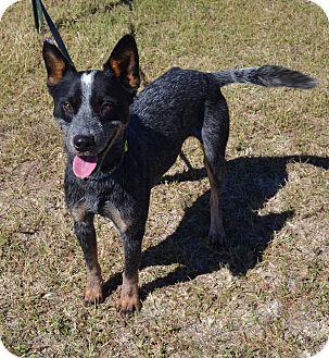 Australian Cattle Dog Mix Dog for adoption in Larned, Kansas - Levi