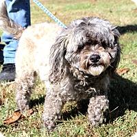Adopt A Pet :: Muffin~meet me~ - Glastonbury, CT
