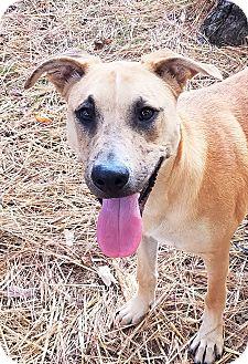 Labrador Retriever Mix Dog for adoption in Murphysboro, Illinois - Rainer