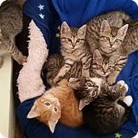 Domestic Shorthair Kitten for adoption in Coopersburg, Pennsylvania - Ralph