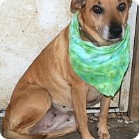 Shepherd (Unknown Type)/Labrador Retriever Mix Dog for adoption in Pilot Point, Texas - Hayley