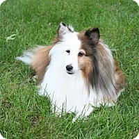 Sheltie, Shetland Sheepdog Dog for adoption in Mission, Kansas - Belle