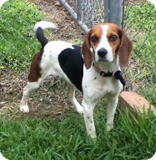 Beagle Dog for adoption in Lake Jackson, Texas - Bella