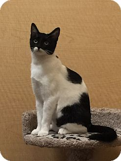 Domestic Shorthair Cat for adoption in Brea, California - DANI