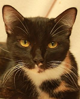 Domestic Mediumhair Cat for adoption in Savannah, Missouri - Georgie
