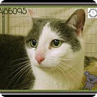 Adopt A Pet :: Holly *Declawed* - Glendale, AZ