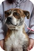Boxer Mix Dog for adoption in Justin, Texas - Feisty