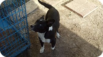 Border Collie/Shepherd (Unknown Type) Mix Puppy for adoption in Fort Valley, Georgia - jackie-o