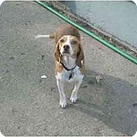 Adopt A Pet :: Hannah - Novi, MI