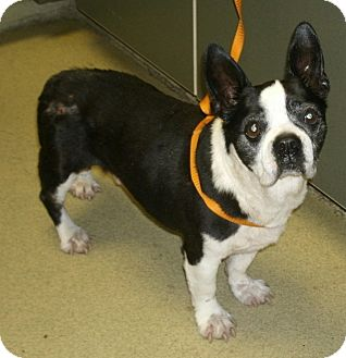 corgi boston terrier carson adopted dog temecula ca boston terrier corgi mix 9464