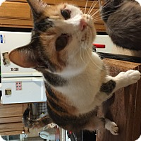 Domestic Shorthair Cat for adoption in Buchanan, Tennessee - Cleo