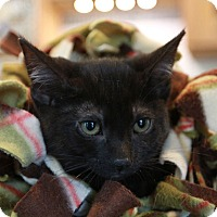 Domestic Shorthair Kitten for adoption in Palatine, Illinois - Flower