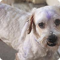 Adopt A Pet :: Harry Blue - Norwalk, CT