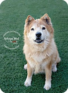 Chow Chow Dog for adoption in Scottsdale, Arizona - Max