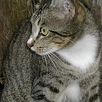Domestic Shorthair Cat for adoption in Bonita Springs, Florida - Scotty