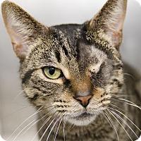 Adopt A Pet :: Tiger - Adrian, MI