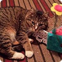 Adopt A Pet :: Girl kitten - Courtesy Listing - Sparta, NJ