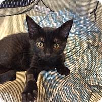 Adopt A Pet :: Medora - Colorado Springs, CO