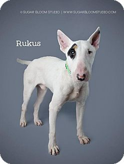 Bull Terrier Mix Puppy for adoption in Denver, Colorado - Rukus