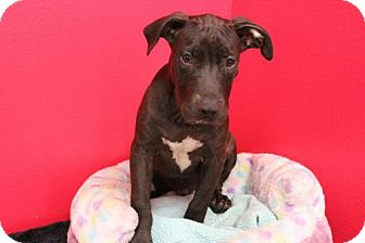 Labrador Retriever Mix Dog for adoption in Phoenix, Arizona - Tyler