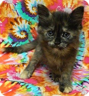 Domestic Shorthair Kitten for adoption in Columbus, Nebraska - Stella
