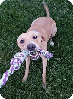 Dachshund/Whippet Mix Dog for adoption in Northville, Michigan - zBerkeley ADOPTED