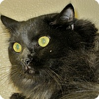 Domestic Mediumhair Cat for adoption in Georgetown, Texas - Channing