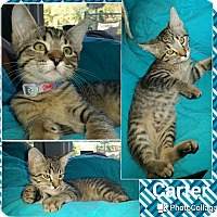 Adopt A Pet :: Carter - Arlington/Ft Worth, TX