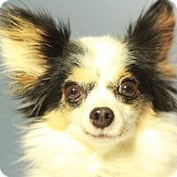 Adopt A Pet :: BonBon - Romeoville, IL