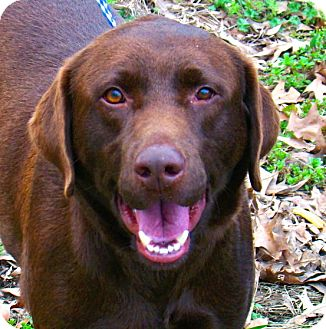 Labrador Retriever Dog for adoption in Groton, Massachusetts - Winston